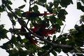 Costa Rica_Hellrote Aras bei Jacó4
