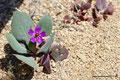 Chile_Pan de Azúcar Nationalpark_Es blüht2