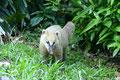 Brasilien_Do Iguacu NP_Nasenbär