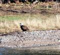 Kanada_Nova Scotia_Cape-Breton_Marble Mountain_1 Adler schaut in die Weite