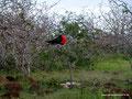 Ecuador_Galapagos_Isla North Seymour_Männlicher Fregattvogel