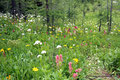 Kanada_Alberta_Banff NP_Sunshine Valley Meadows_Wildblume3