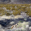 USA_Kalifornien_Mojave National Preserve_Coyote