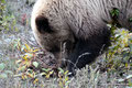 Kanada_Yukon_Alaska Highway_Grizzly5