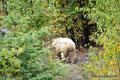 Kanada_British Columbia_Albino-Schwarzbär auf dem Yellowhead
