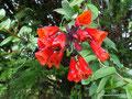 Ecuador_Cotacachi Cayapas NP_Weitere Blüten