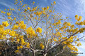 Mexiko_Pazifikküste Nord_Kurz vor Mayto_Gelbe Blütenpracht