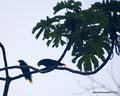 Costa Rica_Arenal 1968_Montezumastirnvögel