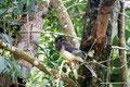Costa Rica_Monteverde_Curi-Cancha Reserve_Häher
