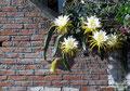 Ecuador_Vilcabamba_Blüten eines Kaktus