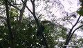 Costa Rica_Carara NP_Swainson-Tukan