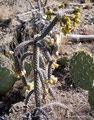 USA_Arizona_Tucson_Arizona Sonora Desert Museum_Anderer blühender Kaktus