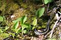 Kanada_Ontario_Bruce Peninsula NP_Eine weitere von 10 Schlangen an diesem Tag