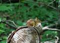 Kanada_Ontario_Rattlesnake Point_Streifenhörnchen