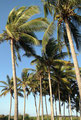 Mexiko_Pazifikküste Nord_Playas Novillero_Palmen