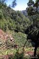 Guatemala_Westen_Nebaj_Bananen im Kiefernwald