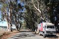 USA_Kalifornien_Eukalyptusallee bei Petrolia
