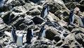 Chile_Insel Chiloé_Pingüinera Punihuil_Humboldt-Pinguine1
