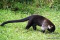 Costa Rica_Monteverde_Curi-Cancha Reserve_Nasenbär1