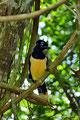 Brasilien_Do Iguacu NP_Kappenblaurabe