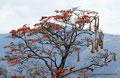 Bolivien_Hängende Nester von Webervögel