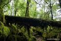 Chile_Carretera Austral_Queulat NP_Im Wald2