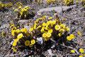 Kanada_Nova Scotia_Cape-Breton_Die ersten Blumen