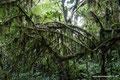 Costa Rica_Tapanti NP_Moos