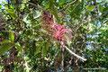 Mexiko_Yucatán Halbinsel_Cobá_Epiphyt
