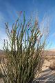USA_Kalifornien_Anza-Borrego Desert SP_Noch ein blühender Ocotillo