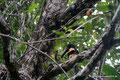 Costa Rica_Cahuita_Halsbandarassari im Nationalpark2