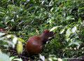 Costa Rica_Monteverde_Curi-Cancha Reserve_Aguti
