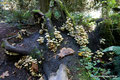 Kanada_British Columbia_Vancouver Island_Goldstream Park_Gelbe Pilzkolonie