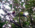 Costa Rica_Monteverde_Curi-Cancha Reserve_Laucharassari