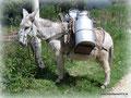 Kolumbien_Durch die Anden - Milchesel