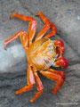 Ecuador_Galapagos_Isla San Cristobal_Überall diese Krabbe