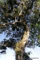 Guatemala_Norden_Yaxhá NP_Voll mit Sekundärpflanzen