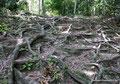 Guatemala_Norden_Tikal_Wurzeln