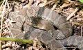 Kanada_Ontario_Bruce Peninsula NP_Massasauga Klapperschlange oder doch die harmlose Red Fox2