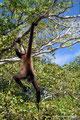 Belize_Orange Walk District_Akrobatischer Geoffroy-Klammeraffe