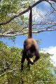 Belize_Orange Walk District_Geoffroy-Klammeraffe hat Kraft im Schwanz