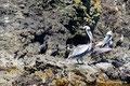 Chile_Insel Chiloé_Pingüinera Punihuil_Pelikane