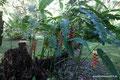 Mexiko_Oaxaca und Chiapas_Falsche Paradiesvogelblume