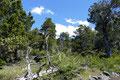 Chile_Laguna del Laja NP_Wanderung durch Wald