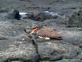 Ecuador_Galapagos_Isla Sombrero de Chino_Austernfischer