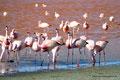 Bolivien_Lagunenroute_Laguna Colorada - James-Flamingos7