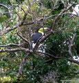Costa Rica_Monteverde_Curi-Cancha Reserve_Fischertukan1