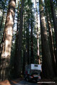 USA_Kalifornien_Humboldt Redwoods SP_Pancho taucht wieder in die Redwoods ein