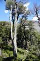 Chile_Laguna del Laja NP_Coigue
