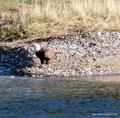 Kanada_Nova Scotia_Cape-Breton_Marble Mountain_1 Adler wo ist denn der Fischi
